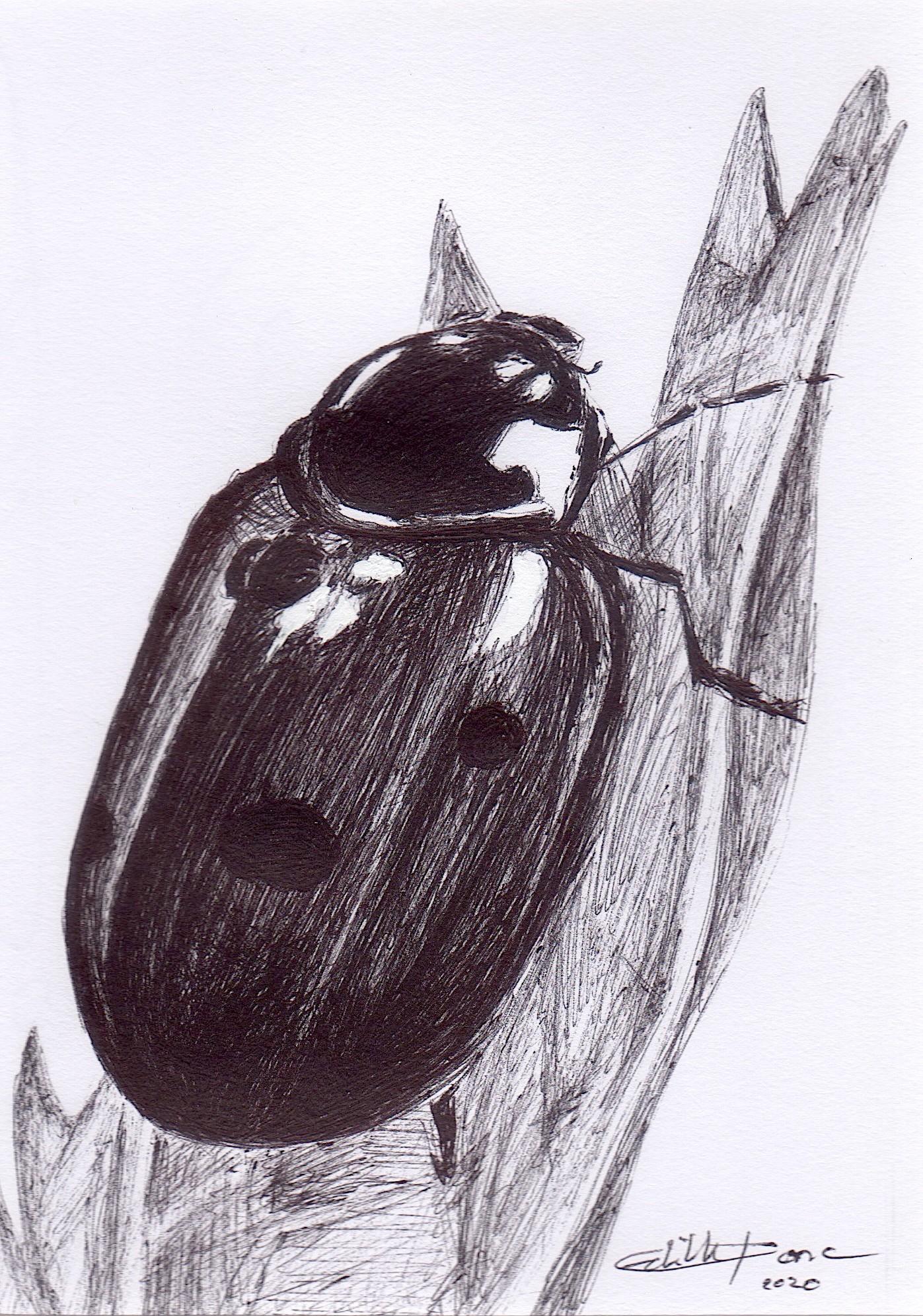 Edith Donc - Coccinella Septempunctata